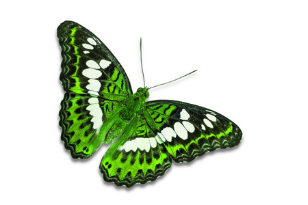 commander: Close up of green color Commander (Moduza procris) butterfly, isolated on white background with clipping path, dorsal view