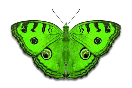Close up of green color Peacock Pansy (Junonia almana) butterflies, isolated on white background with clipping path