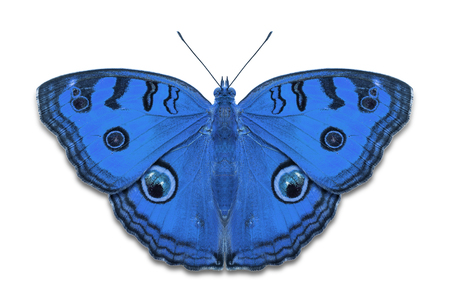 Close up of blue color Peacock Pansy (Junonia almana) butterflies, isolated on white background with clipping path
