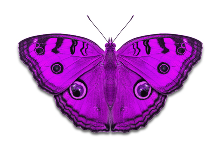 Close up of purple color Peacock Pansy (Junonia almana) butterflies, isolated on white background with clipping path Stock Photo