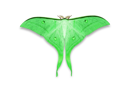 Close up of green color Indian moon moth or Indian luna moth (Actias selene), isolated on white background with clipping path Stock Photo
