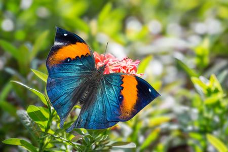 Close-up van Oranje oakleaf of Dead leaf (Kallima Inachus) vlinder een bezoek op bloem, dorsaal aanzicht