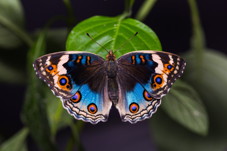 thorax: Close up of Blue pansy (Junonia orithya) butterfly perching on green leaf, dorsal view