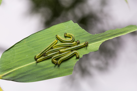 Close up of young Great Evening Brown (Melanitis zitenius) caterpillars on their host plant leaf in nature