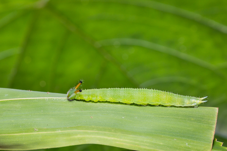 Close up of mature Great Evening Brown (Melanitis zitenius) caterpillar on its host plant leaf in nature Stock Photo