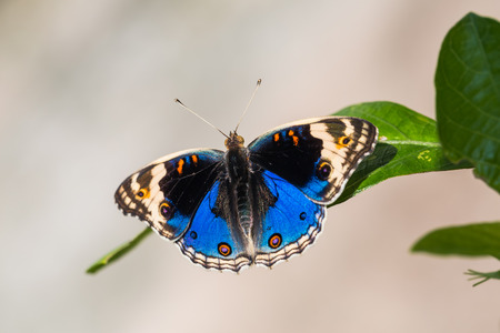 Close up of Blue pansy (Junonia orithya) butterfly perching on green leaf in nature, dorsal view Stock Photo