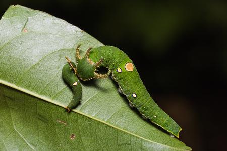 rajah: Close up of Tawny Rajah (Charaxes bernardus) caterpillars on their host plant leaf