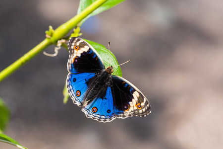 nymphalidae: Close up of Blue pansy (Junonia orithya) butterfly perching on green leaf in nature, dorsal view Stock Photo