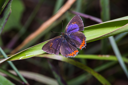 Close up of Common purple sapphire (Heliophorus epicles) butterfly on green leaf in nature, dorsal view Stock Photo