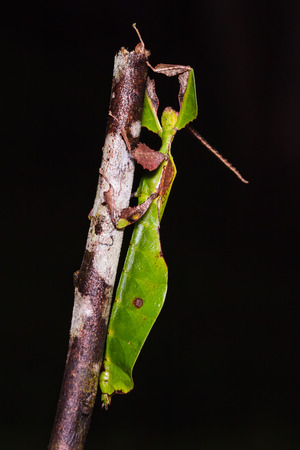 stomach bug: Close up of unidentified Leaf insect on wood stem in nature, ventral view