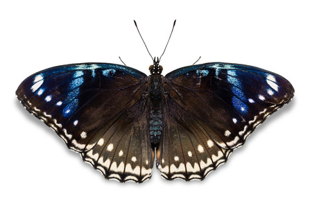nymphalidae: Close up of female Great Eggfly (Hypolimnas bolina) butterfly, isolated on white background