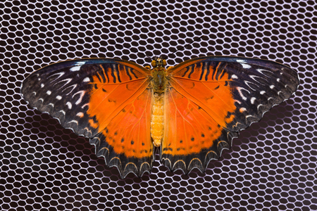 biblis: Close up of Red Lacewing (Cethosia biblis) butterfly on purple net, dorsal view Stock Photo