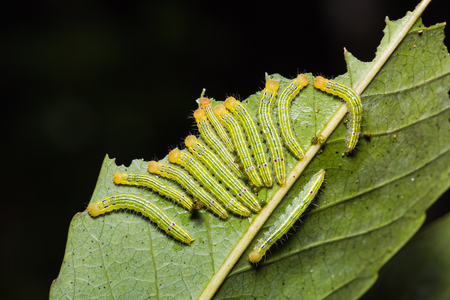 stomach bug: Close up of unidentified moth caterpillars on their host plant leaf in nature