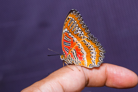 stomach bug: Close up of Red Lacewing (Cethosia biblis) butterfly on human finger, side view, purple net background