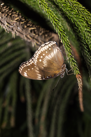 Close up of Great Eggfly (Hypolimnas bolina) butterfly clinging on the pine tree leaf