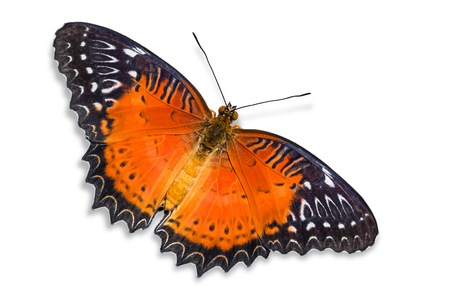stomach bug: Close up of Red Lacewing (Cethosia biblis) butterfly, dorsal view, isolated on white background with clipping path Stock Photo