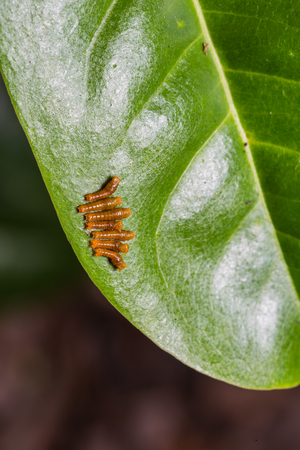 stomach bug: Close up of young Banded Swallowtail (Papilio demolion) caterpillars on their host plant leaf in nature