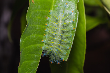 Close up of Common Archduke (Lexias pardalis) caterpillar on its host plant leaf in nature, dorsal view Stock Photo