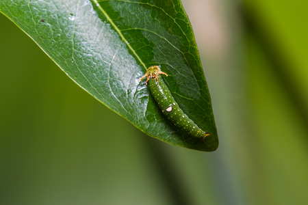 rajah: Close up of young Tawny Rajah (Charaxes bernardus) caterpillar on its host plant leaf in nature Stock Photo