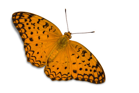 thorax: Close up of  Common Leopard or Spotted Rustic (Phalanta phalantha) butterfly, dorsal view, isolated on white background with clipping path