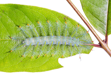 Close up of Common Archduke (Lexias pardalis) caterpillar on its host plant leaf, on white background