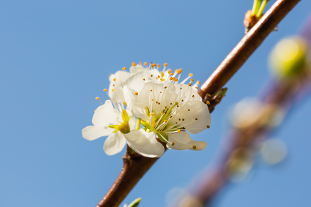 Close up of white Wild Himalayan cherry (Prunus cerasoides) flowers