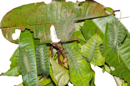 Close up of Common Archduke (Lexias pardalis) caterpillars on their host plant leaves, white background