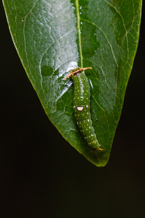 Close up of young Tawny Rajah (Charaxes bernardus) caterpillar on its host plant leaf in nature Stock Photo