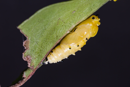 Close up of Painted Jezebel (Delias hyparete) pupa under its host plant leaf in nature