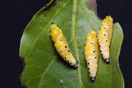 Close up of Painted Jezebel (Delias hyparete) pupae on their host plant leaf in nature
