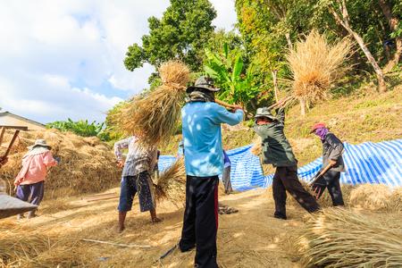 CHIANG MAI, THAILAND - 07 NOVEMBER 2016 - Unidentified farmers gather and cooperate to do manual rice threshing at Ban Pa pong Piang, Chiang Mai province, Thailand.