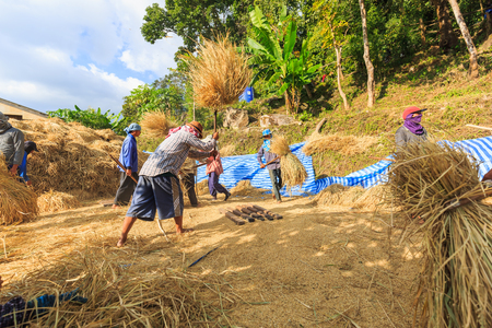 CHIANG MAI, THAILAND - 07 NOVEMBER 2016 - Unidentified farmers gather and cooperate to do manual rice threshing at Ban Pa pong Piang, Chiang Mai province, Thailand.