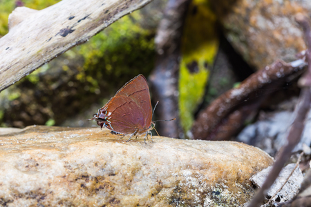 Close up of Chocolate Royal (Remelana jangala) butterfly puddling on the rock in nature