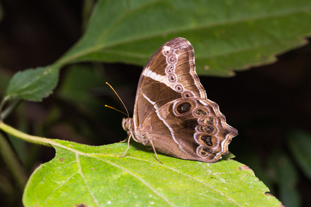 Close up of Bamboo Treebrown (Lethe europa) butterfly perching on green leaf in nature Stock Photo