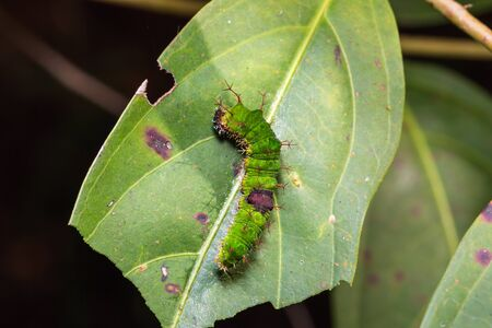 Close up of Colour Sergeant (Athyma nefte) caterpillar on its host plant leaf in nature