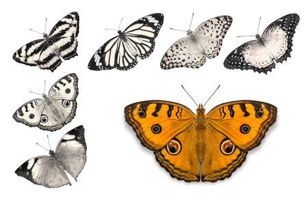 biblis: Close up of orange butterfly (Peacock Pansy) isolated on white background with clipping path, among other desaturated orange butterflies including Autumn Leaf, Common Leopard, Common Jester, Red Lacewing, and Common Tiger