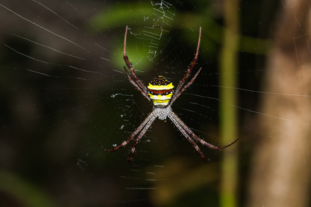 araneidae: Close up of Multi-coloured Argiope spider (Argiope pulchella) on its web in nature, dorsal view Stock Photo