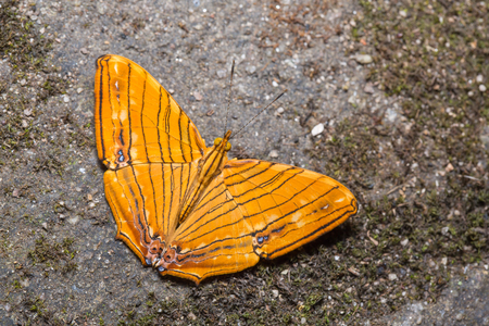 Close up of Common Maplet (Chersonesia risa) butterfly puddling on the ground in nature, dorsal view