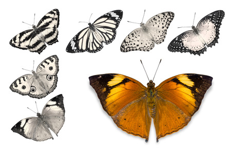 Close up of orange butterfly (Autumn Leaf) isolated on white background with clipping path, among other desaturated orange butterflies including Peacock Pansy, Common Leopard, Common Jester, Red Lacewing, and Common Tiger Stock Photo