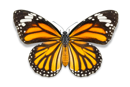 Close up of Common Tiger (Danaus genutia) butterfly (close to monarch butterfly), isolated on white background with clipping path