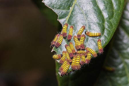 Close up of Chalcosiine Day-Flying Moth (Cyclosia panthona) caterpillars on their host plant leaf
