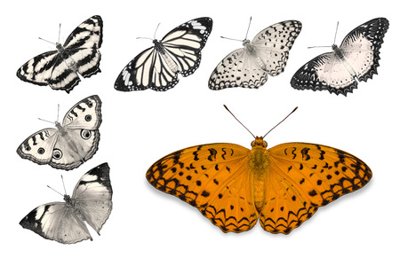 biblis: Close up of orange butterfly (Common Leopard) isolated on white background with clipping path, among other desaturated orange butterflies including Peacock Pansy, Autumn Leaf, Common Jester, Red Lacewing, and Common Tiger