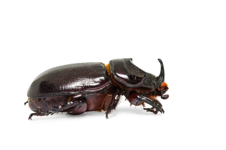 Close up of rhinoceros beetle (Oryctes gnu or Oryctes trituberculatus), isolated on white background with clipping path Stock Photo
