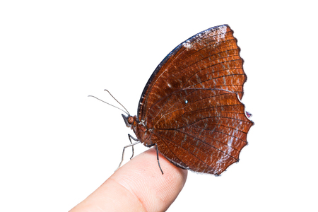 thorax: Close up of Common Palmfly (Elymnias hypermnestra) butterfly perching on human finger, isolated on white background with clipping path