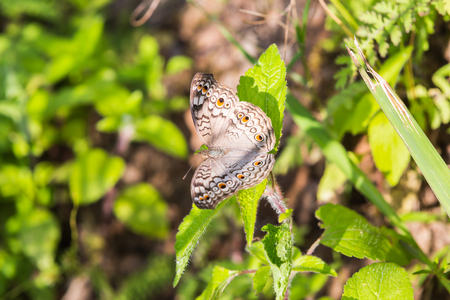 Grey Pansy (Junonia atlites) butterfly perching on green leaf in nature