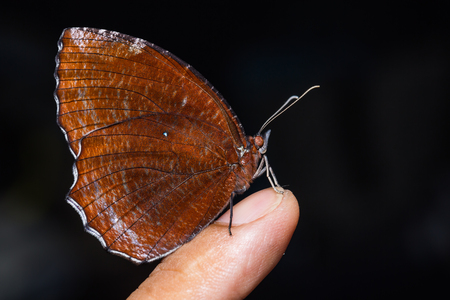 thorax: Close up of Common Palmfly (Elymnias hypermnestra) butterfly perching on human finger