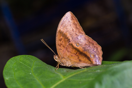 nymphalidae: Close up of male Common Duffer (Discophora sondaica) butterfly perching on green leaf in nature Stock Photo