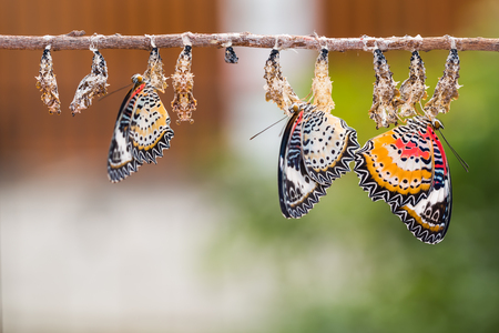 Close up of new born Leopard lacewing (Cethosia cyane euanthes) butterflies after their emergences from their pupae