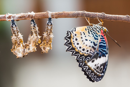 nymphalidae: Close up of new born Leopard lacewing (Cethosia cyane euanthes) butterfly after its emergence from its pupa