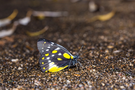 Close up of Hill Jezebel (Delias belladonna) butterfly puddling on the ground in nature